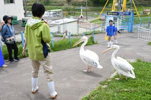 pelicanwalking1.jpg